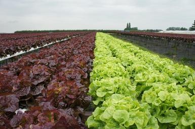 Red and green lettuce field