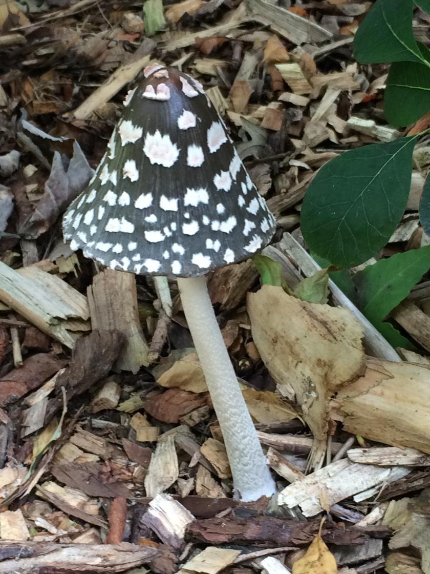 Magpie Ink-cap mushroom, found in Harris garden, The University of Reading